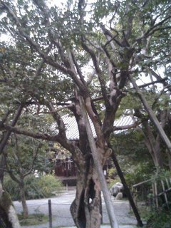 白毫寺の五色椿